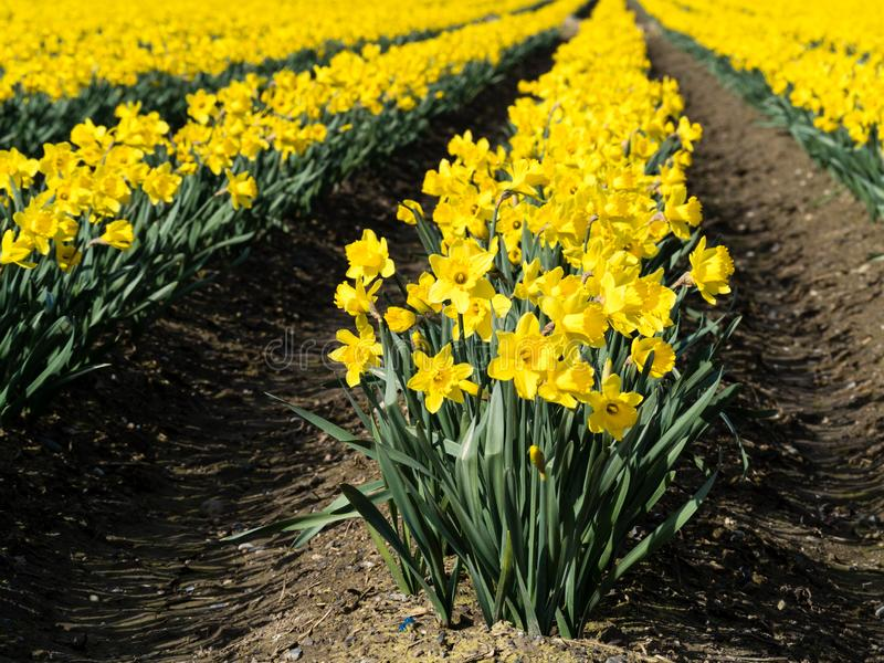 Blooming daffodil fields in Washington state. Rows of blooming daffodils on the fields in Skagit valley - Washington state, USA royalty free stock image