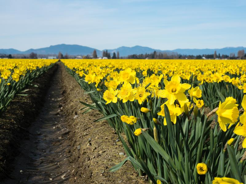 Blooming daffodil fields in Washington state. Rows of blooming daffodils on the fields in Skagit valley - Washington state, USA stock image