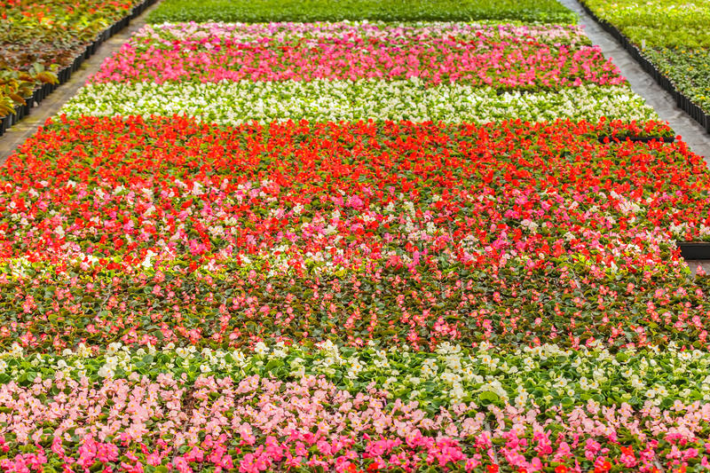Rows of blooming violas in a greenhouse. Rows of colorful blooming violas in a Dutch greenhouse stock image