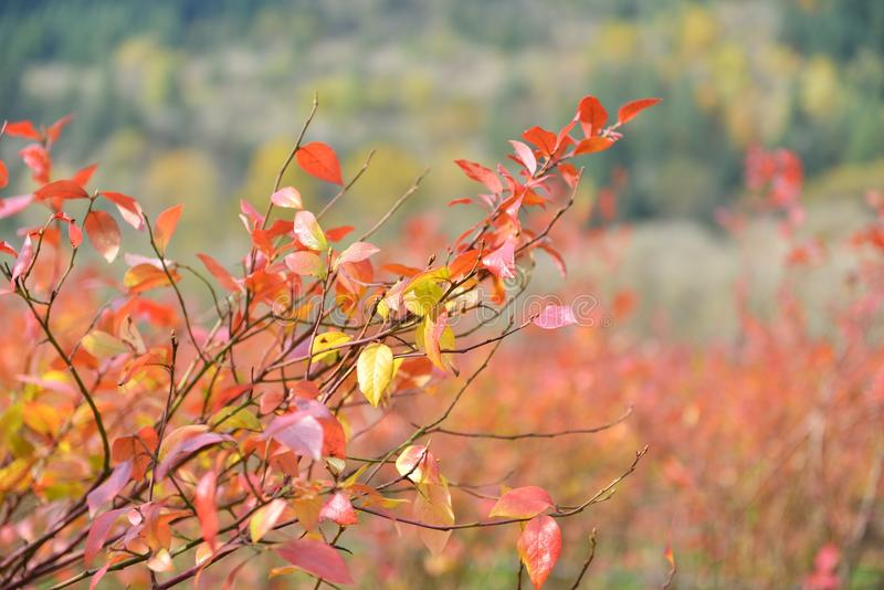 Rows of blueberry bushes in fall color royalty free stock image