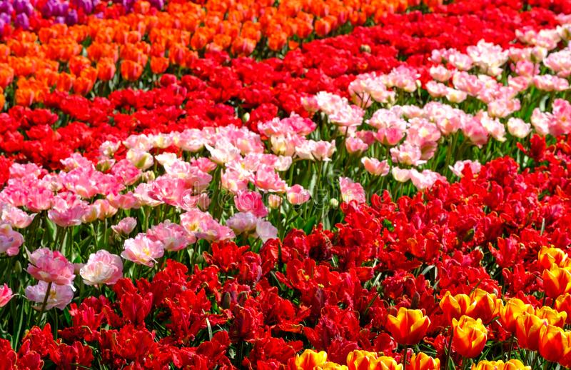 Rows of brightly coloured tulips at Keukenhof Gardens, Lisse, South Holland. Photographed in HDR high dynamic range. royalty free stock photography