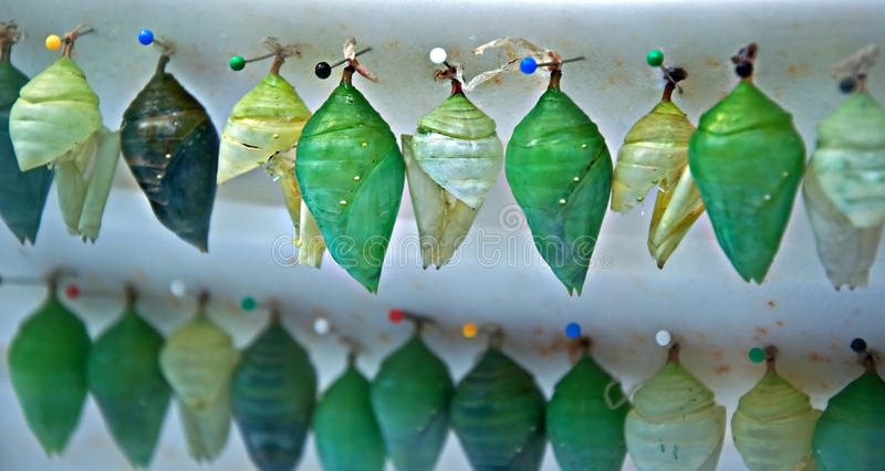 Rows of Butterfly Chrysalis Pupa. Stock image has twos rows of various shades of green butterfly chrysalis or pupa stage of insect development. They are royalty free stock photography