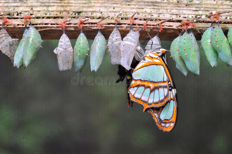 Rows of butterfly cocoons stock images