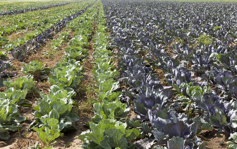 Rows of cabbage. Even long rows of green and purple cabbage on an agricultural field royalty free stock photo