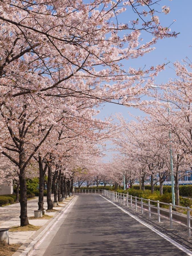 Rows of cherry blossom trees royalty free stock photo