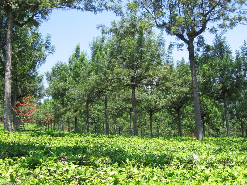 The Rows of Cinchona Trees at Gambung Tea Plantation royalty free stock photos