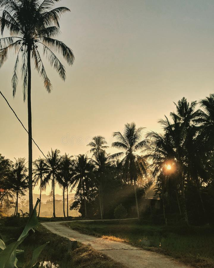 rows of coconut trees decorated with sunlight bias stock photos