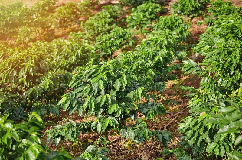 Rows of coffee tree on plantation. In bright sunny day stock photo