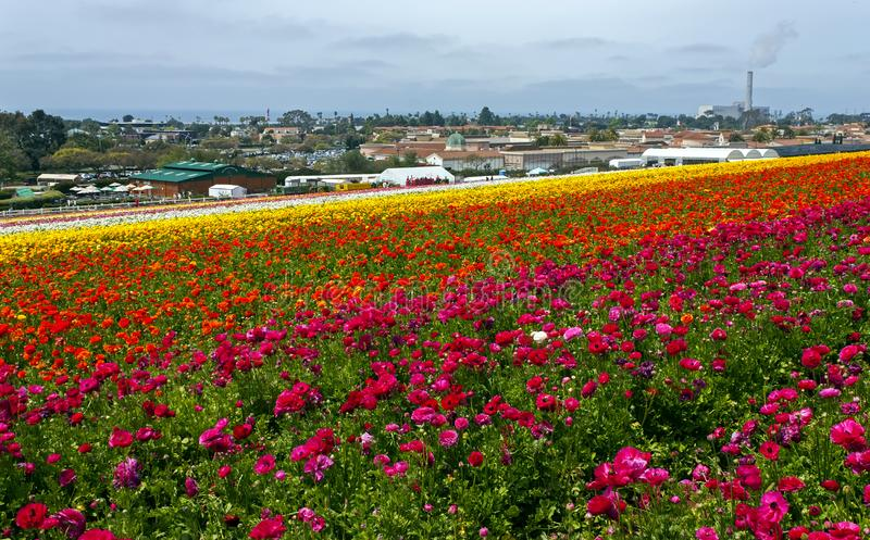 Rows of colorful flowers grow in Carlsbad. California,United States of America stock photo