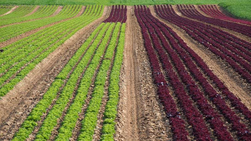 Rows of colorful rainbow of agricultural fields of crops lettuce plants, including green, red, purple varieties. Spring time stock image