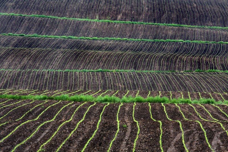 Rows of corn growing in field