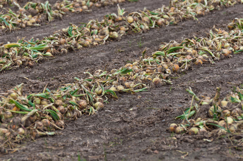Download Rows With Drying Organically Cultivated Onions Stock Image - Image: 20592239