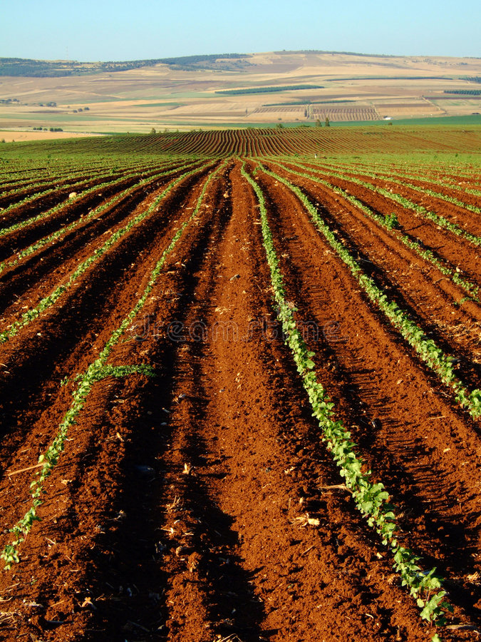 Rows in a Field stock image