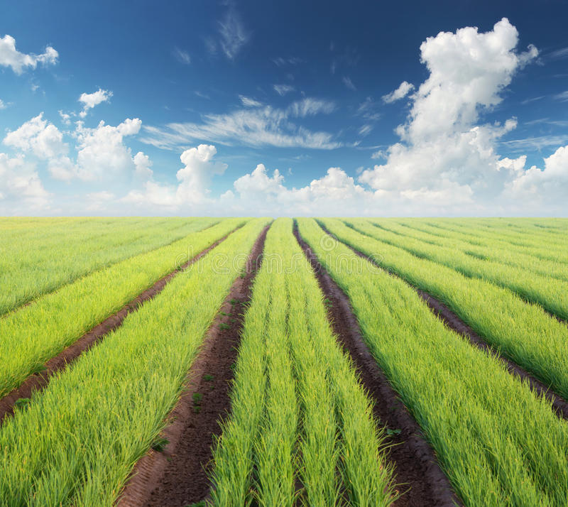 Rows on the field royalty free stock image