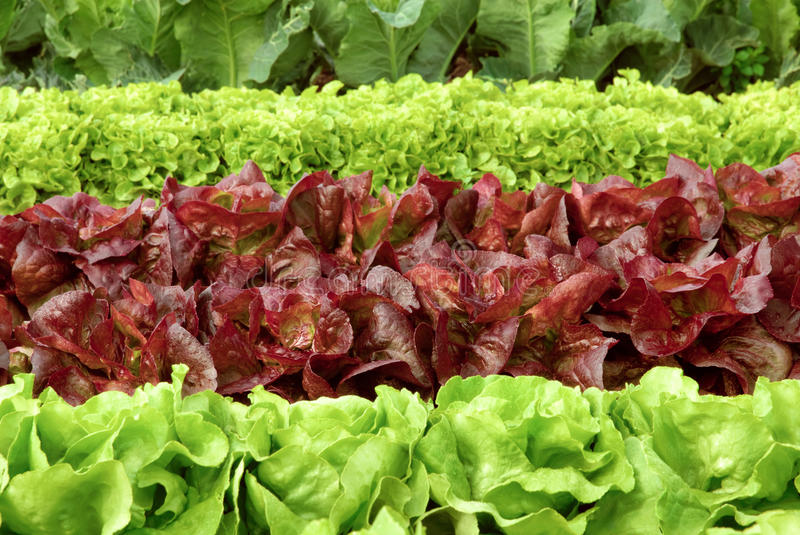Rows of fresh lettuce on a field stock photography