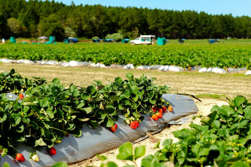 Rows of fresh strawberries in strawberry farm stock photography