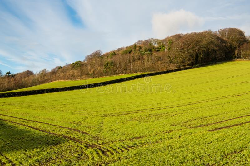 Rows of freshly sprouted winter barley in a bright green sunny field in Ireland. An agricultural scene of a field of freshly sprouted winter barley in County stock photography