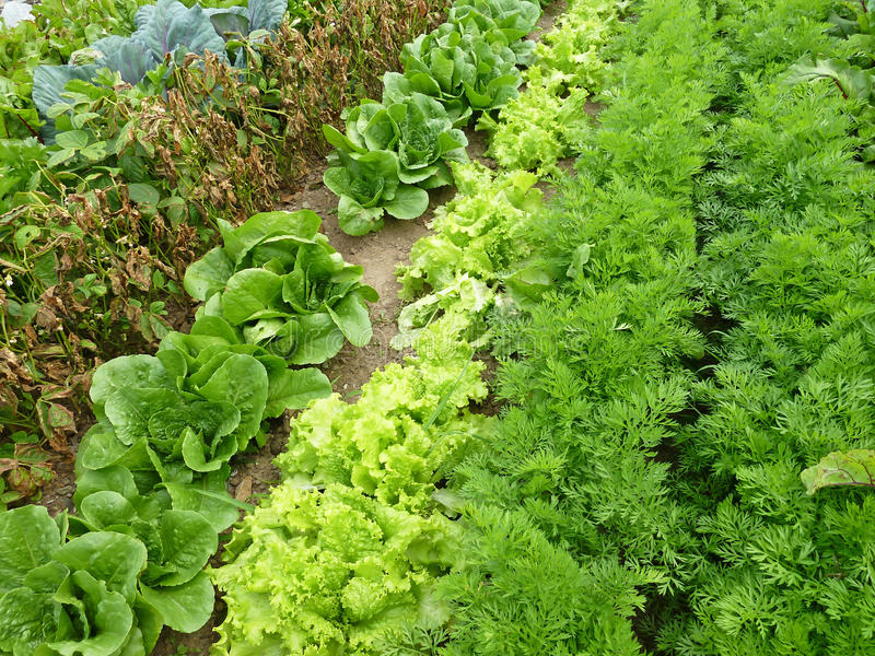 Download Rows in a garden stock image. Image of salad, planted - 21763891