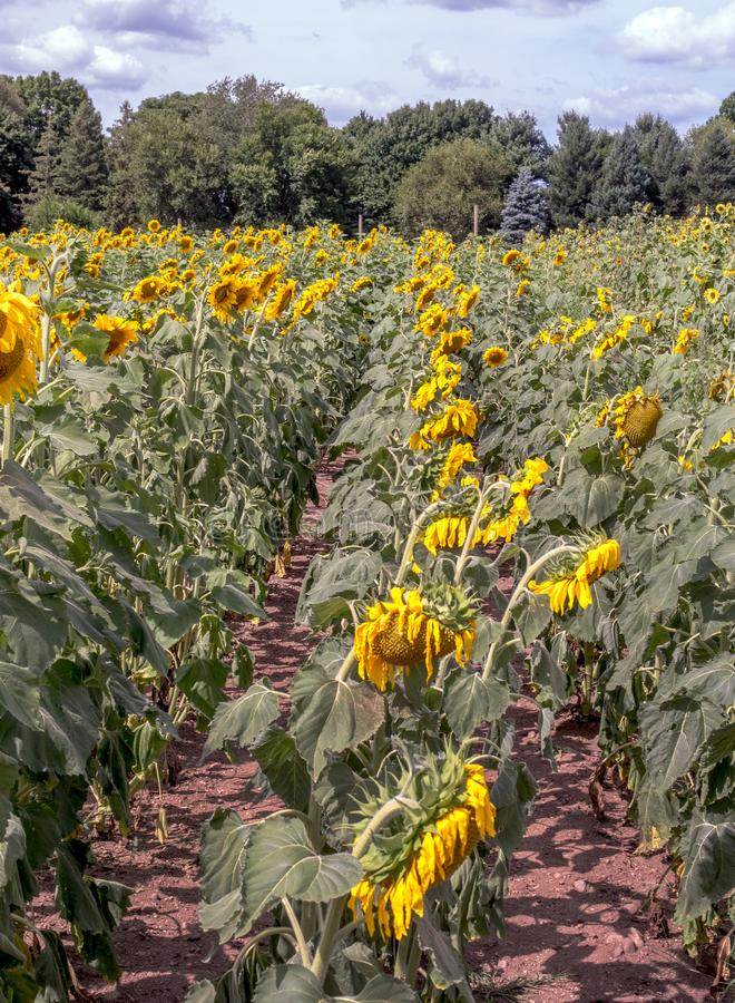 Rows of golden sunflowers in a field stock image