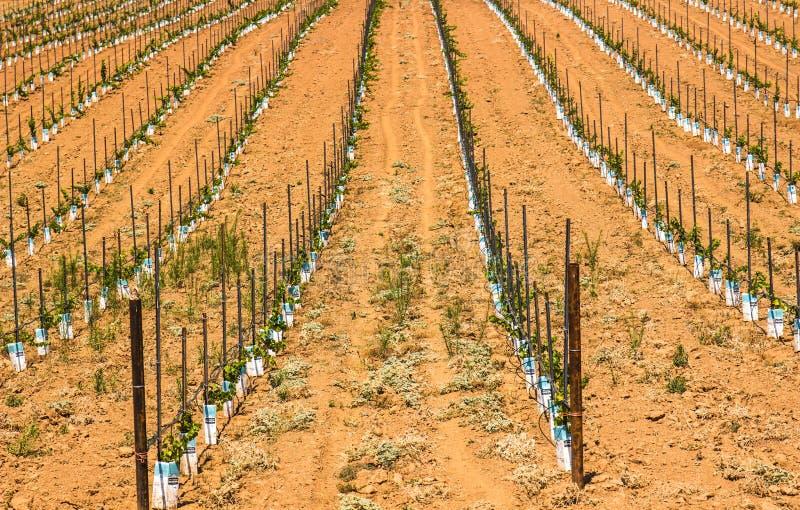Rows of Grape Seedlings stock image
