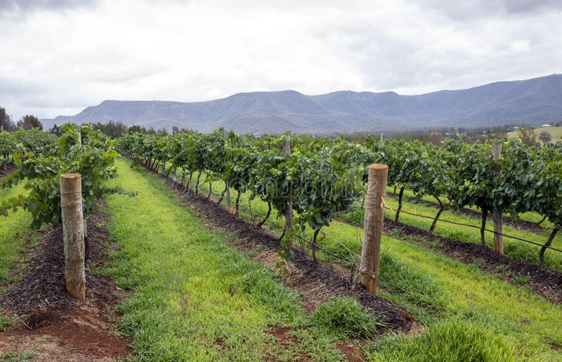 Rows of grape vine. royalty free stock photo