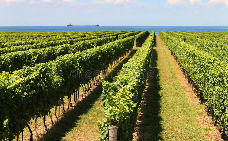 Rows of grape vines. Reaching out over the lake horizon stock photos