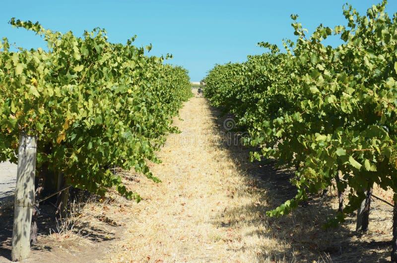Rows of Grape Vines stock photo