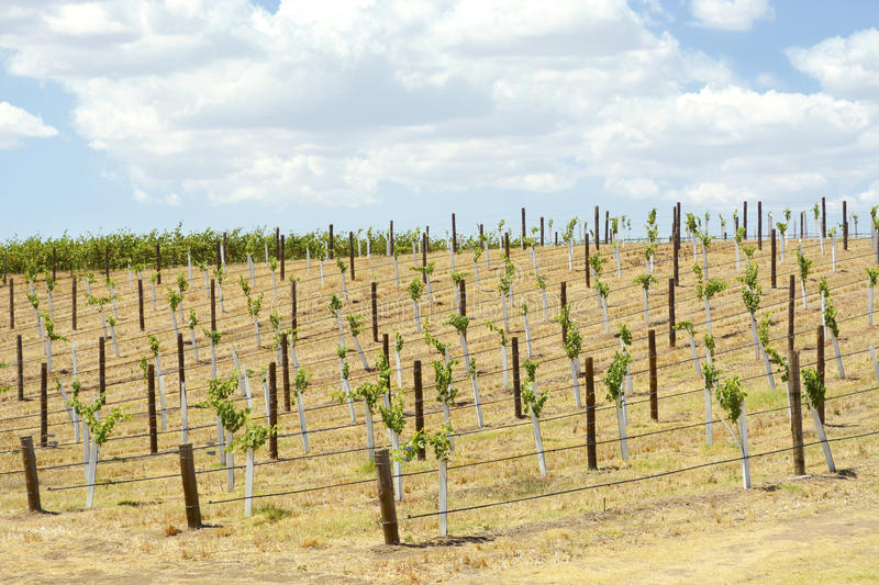 Rows of Grape Vines stock images