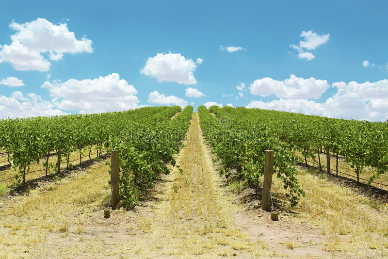 Rows of Grape Vines royalty free stock photography