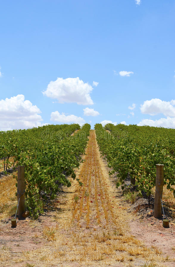 Rows of Grape Vines stock image