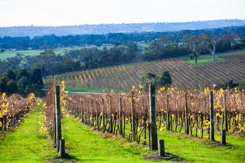 Rows of grape vines in autumn. stock images