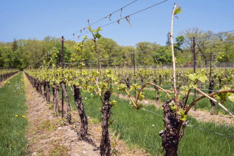 Grape vines with new growth in vineyard stock images