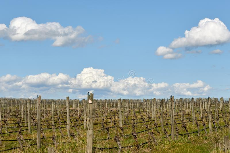 Dormant grape vines in the spring sun. stock photography