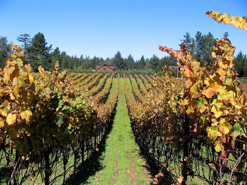 Rows of Grapes in Vineyard stock photos
