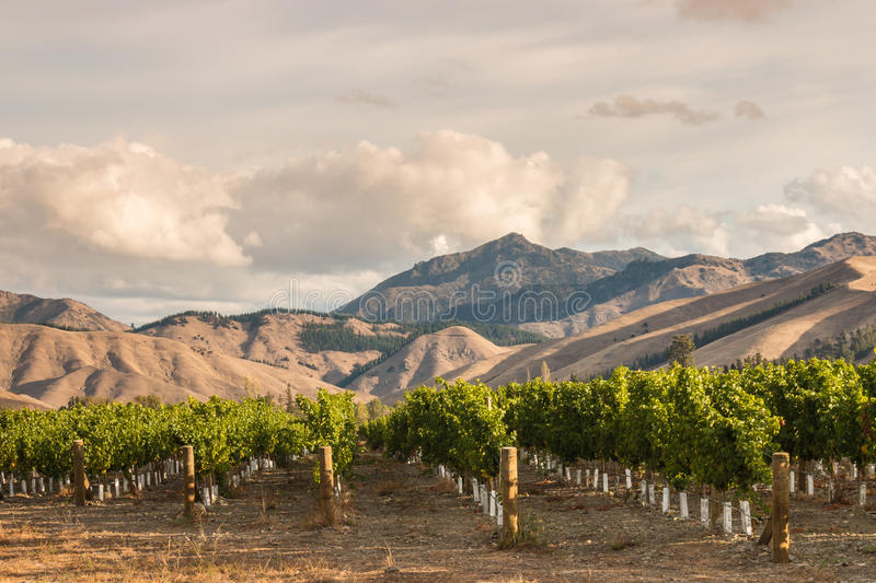 Rows of grapevine in vineyard royalty free stock photography