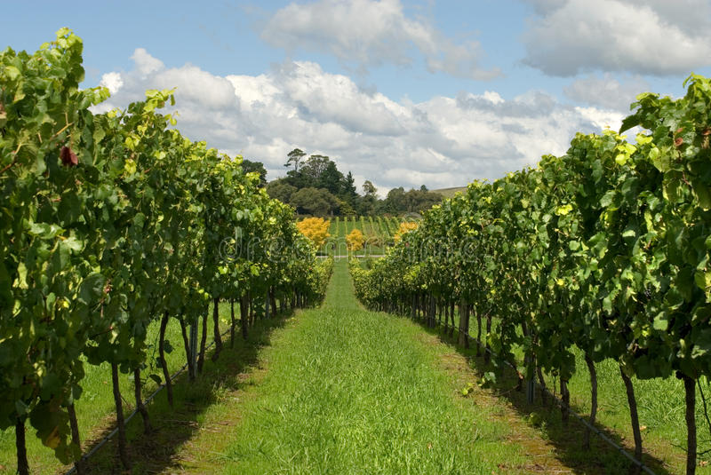 Download Rows of Grapevines stock photo. Image of grapes, nature - 23875826