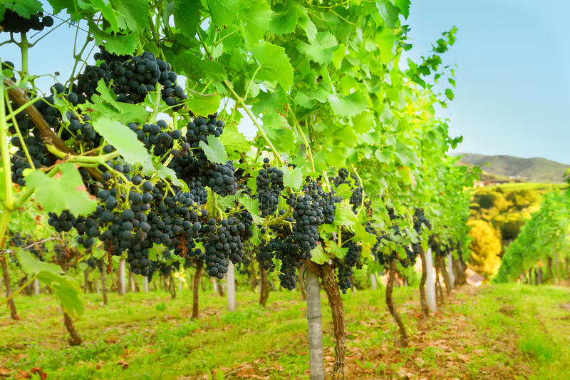 Rows of grapevines royalty free stock photo