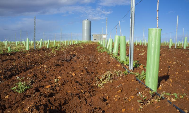 Rows of grapevines buds protected by tree shelter tubes and irrigated by dripping system. Grapevines irrigated with dripping system. Pipes, water tank and royalty free stock photos