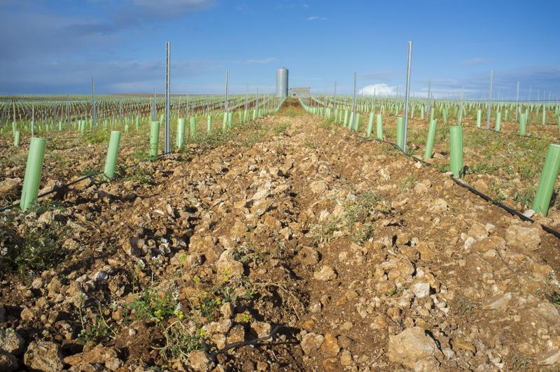 Rows of grapevines buds protected by tree shelter tubes and irrigated by dripping system. Tierra de Barros, Extremadura, Spain stock images