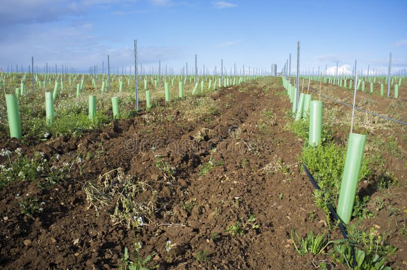 Rows of grapevines buds protected by tree shelter tubes and irrigated by dripping system. Tierra de Barros, Extremadura, Spain stock photo