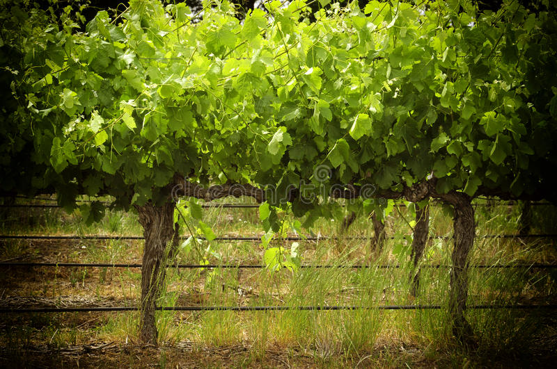 Rows of grapevines stock images