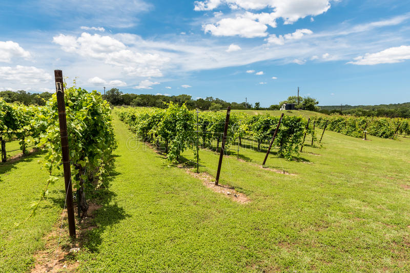Rows of Grapevines in Texas Hill Country. Small roadside wine vineyard in the Texas Hill Country royalty free stock photo