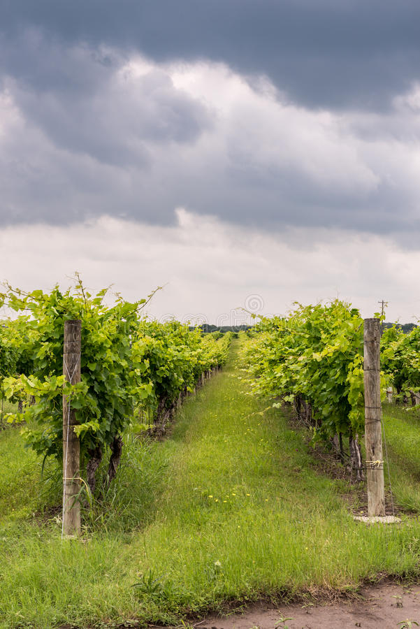 Rows of grapevines in Texas Hill Country. With spring cloudy sky royalty free stock photography