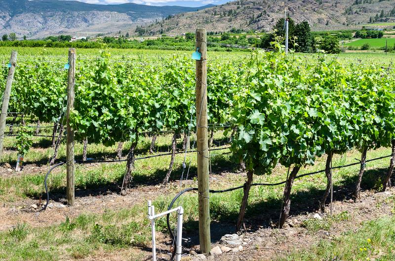 View of a Vineyard on a Sunny Summer Day royalty free stock image