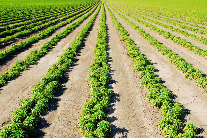 Rows of Green stock images