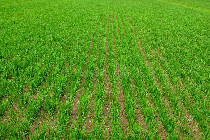 Download Rows Of Green Crops Growing In  Field Stock Photo - Image: 9509788