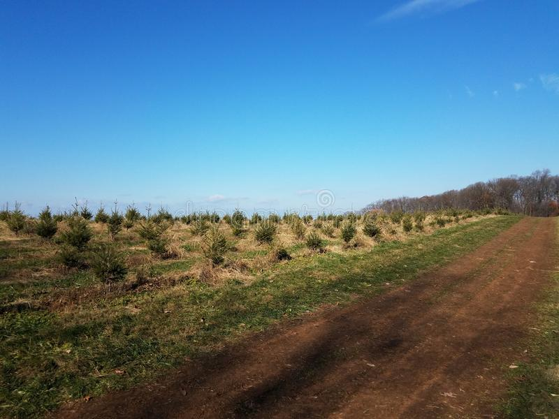 Rows of green pine Christmas trees at farm and dirt path. Rows of many green pine Christmas trees at farm and dirt path stock photos