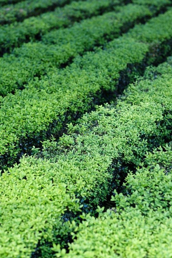 Rows of green shrub planting royalty free stock image