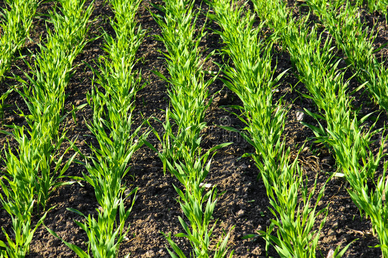 Rows in growing cereal field