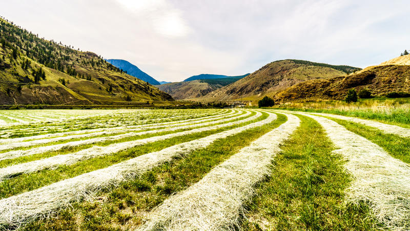 Rows of Hay on a hay field along Highway 8 between Merritt and Spences Bridge. In British Columbia, Canada royalty free stock image